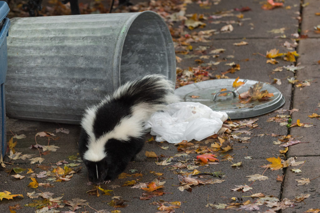 Skunk in trash