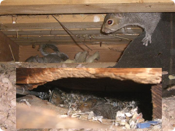 Squirrels In Attic Chew Damage Advanced Wildlife Control